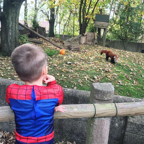 Perfect #Halloween day at @fotawildlife where some animals look like they're wearing masks. #redpanda #spiderman #fotawildlifepark #fotawildlife #hellocork_ #ig_cork #ig_ireland #notricksjusttreats #motherhood