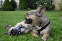 norwegian elkhound(0.0), dog breed(1.0), animal(1.0), puppy(1.0), dog(1.0), old english bulldog(1.0), pet(1.0), olde english bulldogge(1.0), mammal(1.0), french bulldog(1.0), bulldog(1.0),