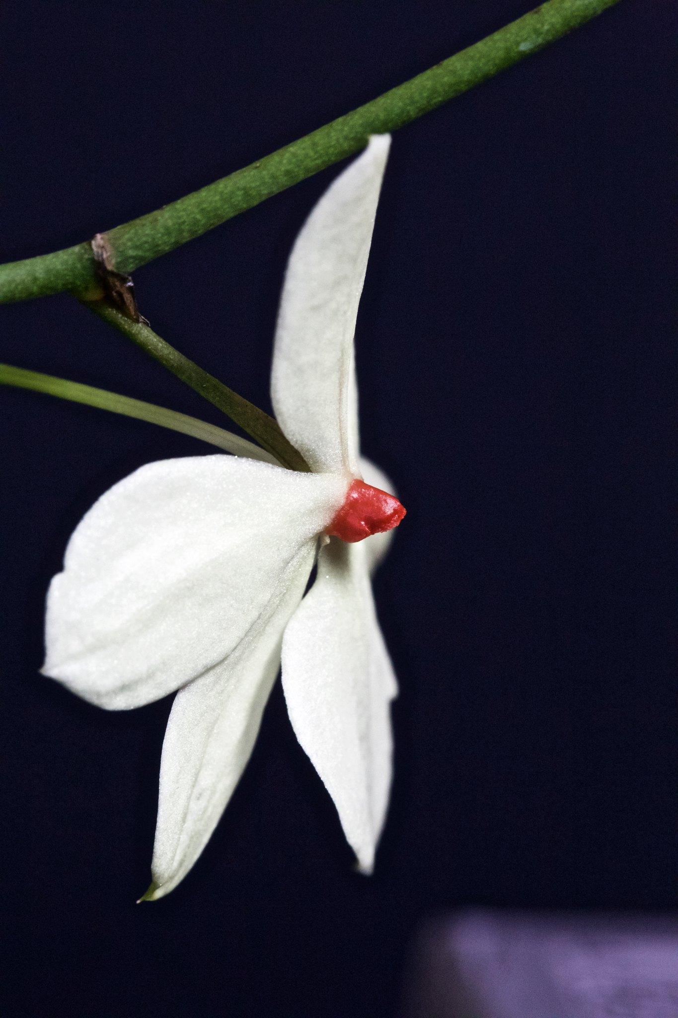 Aerangis luteoalba var. rhodosticta 20224927344_87248b0139_k