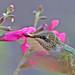 Ruby-throated Hummingbird by ShearH2O