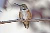 785 broadtail hummingbird