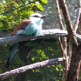 Racquet - tailed Roller