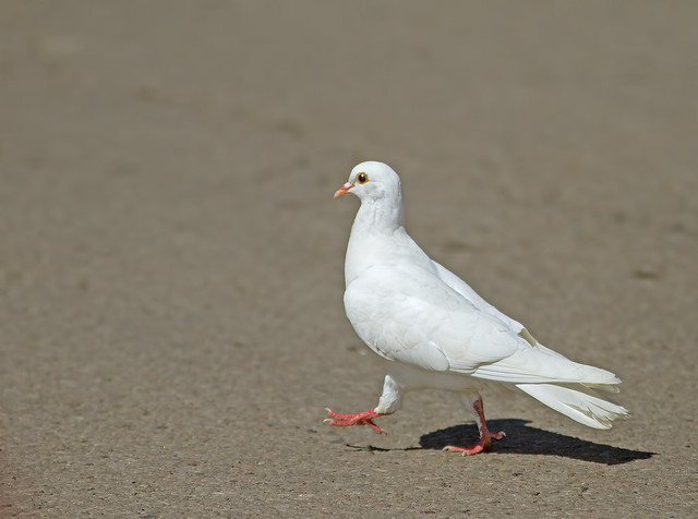 Rock Dove  7d1_2451