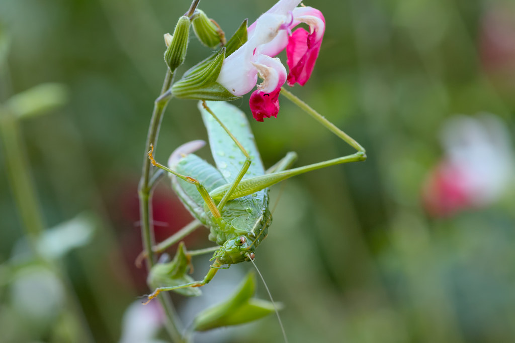 A katydid prepares to jump from the salvia branch it is clinging to