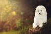 Samoyed by Alexandremqs