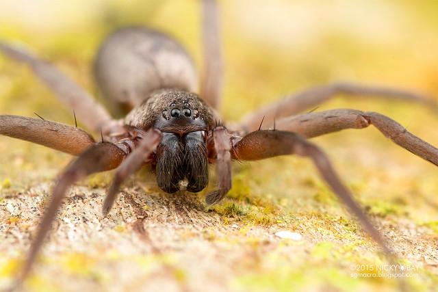 Sac spider (Corinnidae) - DSC_3168