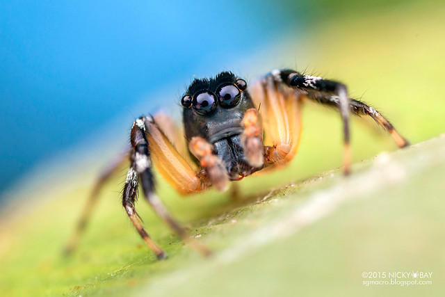 Jumping spider (Salticidae) - DSC_2396