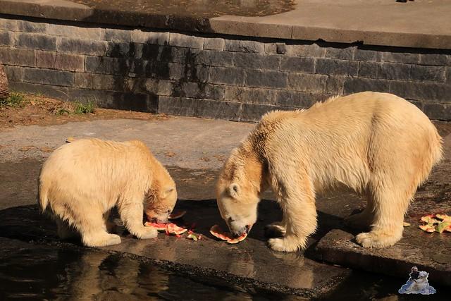 Eisbär Fiete im Zoo Rostock 06.09.2015  0218