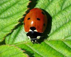 Seven-spot Ladybird - Coccinella septempunctata