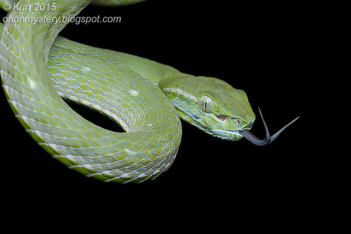 Trimeresurus hageni_MG_2273 copy