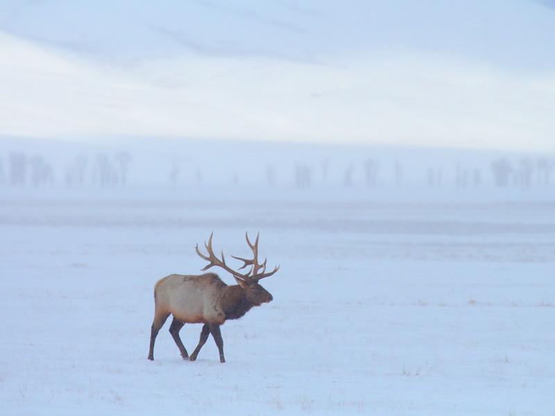 IMG_8722 Elk, National Elk Refuge