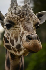 Giraffa camelopardalis DT [NZ Auckland Zoo] (7)