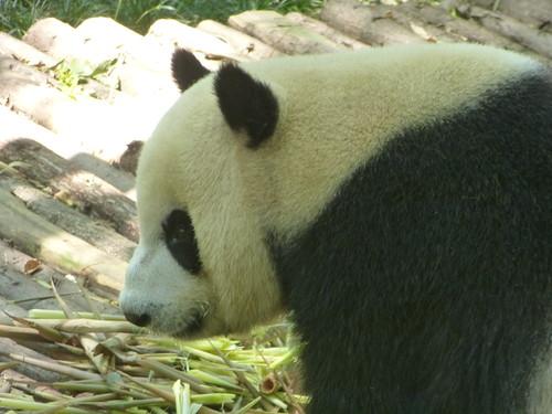 CH-Chengdu-Panda-géant (12)