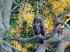 Immature Bald Eagle by Jim Mullhaupt