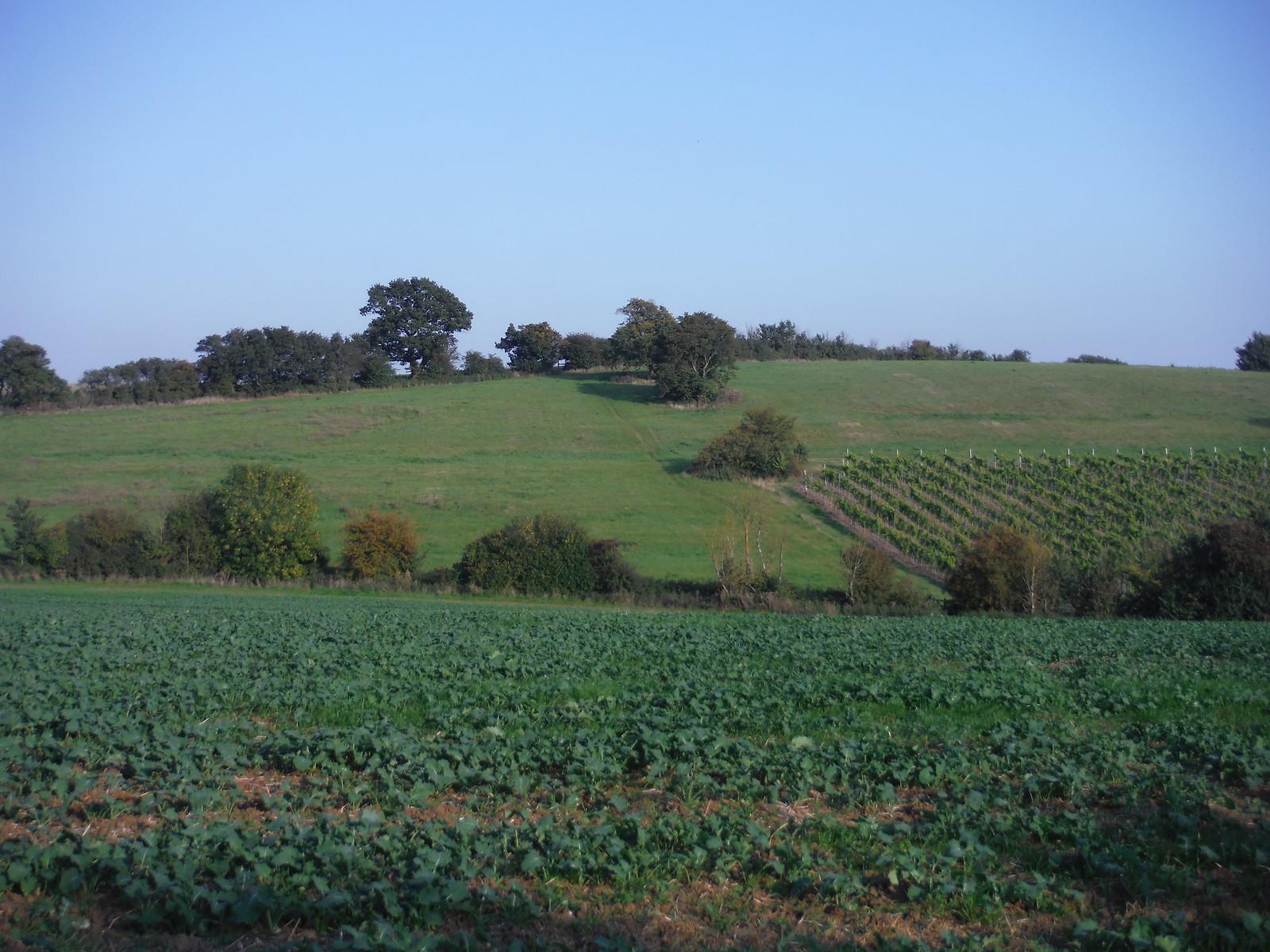 Vineyard in valley, near Hawe's Wood SWC Walk 159 South Woodham Ferrers to North Fambridge