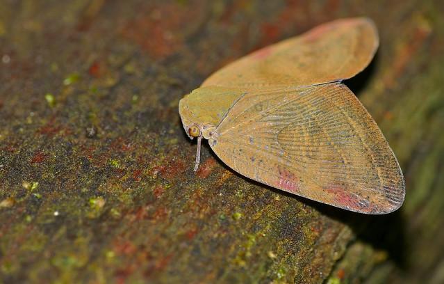 Header of Ricaniidae