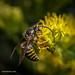 Vespid Wasp on Goldenrod