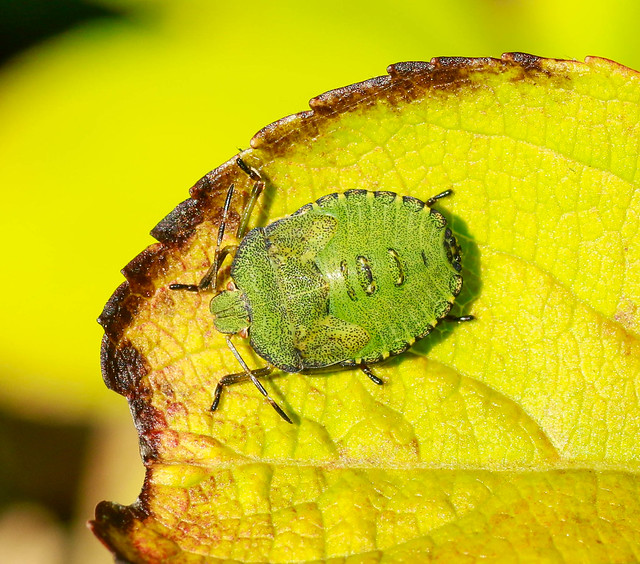 Final instar Green-shield Bug,Barnetby-Le-Wold,Lincolnshire.