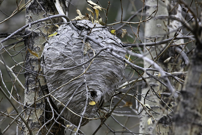 2016 10 17 - Paper Wasp Nest - 9S3A2598