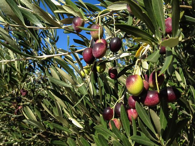 橄欖與橄欖油的故事