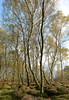 Stanton Moor Birches