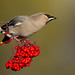 Waxwing (explored 21/11/16) by r1mmer89