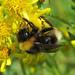 Bombus sylvestris (Forest Cuckoo-bee)