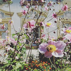 Lovely garden and lovely painted house. Japanese anemones are a sure sign that summer is on its way out.