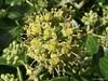 Ivy flower head. by spuddie7