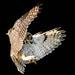 Great horned owl  (Bubo virginianus) by Susan Newgewirtz