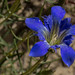Gentiana autumnalis V by dogtooth77