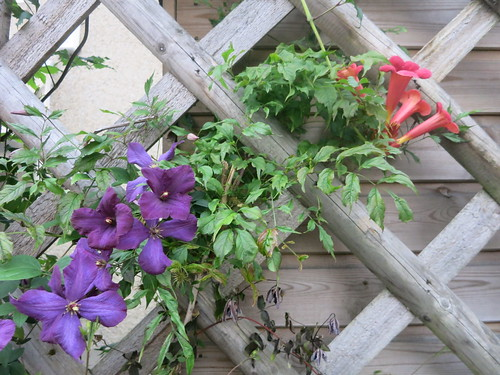 Campsis and Clematis