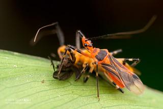 Assassin bugs (Reduviidae) - DSC_9815