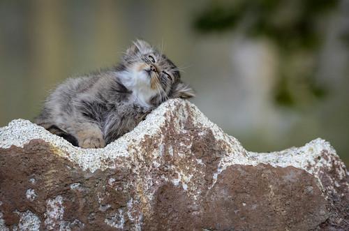 Manul kitten