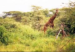 Giraffa camelopardalis tippelskirchi DT [TZ Serengeti NP] 0202 (2)