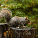Tame Squirrel by Paul Watson 80