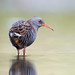 Water rail by birdtracker