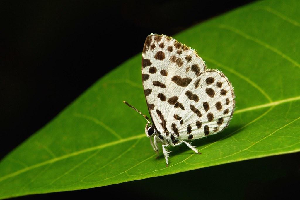 Lesser Forest Blue or Forest Pierrot (Taraka hamada, Lycaenidae)