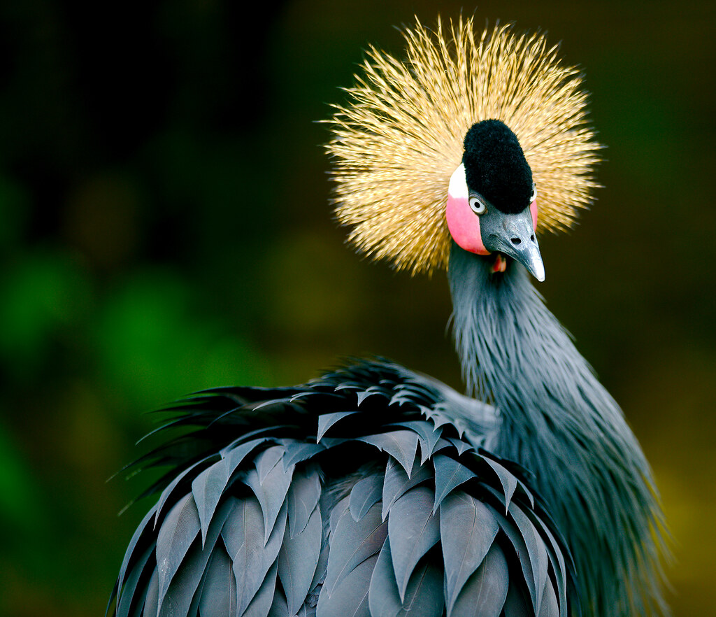 African Crowned Crane_3