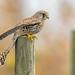 Kestrel, Perched- by higgsp@ymail.com4
