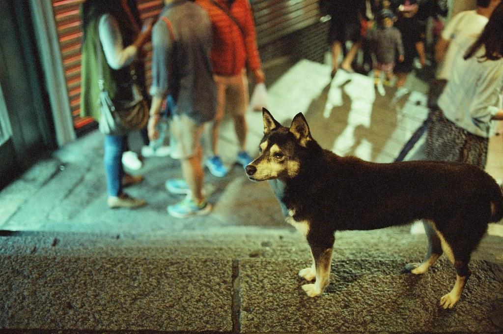 九份 KODAK 500T 5219 V3 2015/11/14 待到晚上的九份,一路上看到一些很可愛的阿貓阿狗,其中有一隻超黏的肥肥貓,真的很肥,我都有點懷疑牠是真的流浪貓嗎?還有一隻很淡定的柴犬,一直站在階梯中間,每個人過去都摸摸牠。  Nikon FM2 Nikon AI AF Nikkor 35mm F/2D KODAK 500T 5219 V3 4754-0025 Photo by Toomore