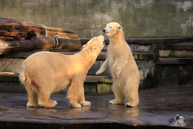 Eisbär Fiete im Zoo Rostock 13.12.2015  162