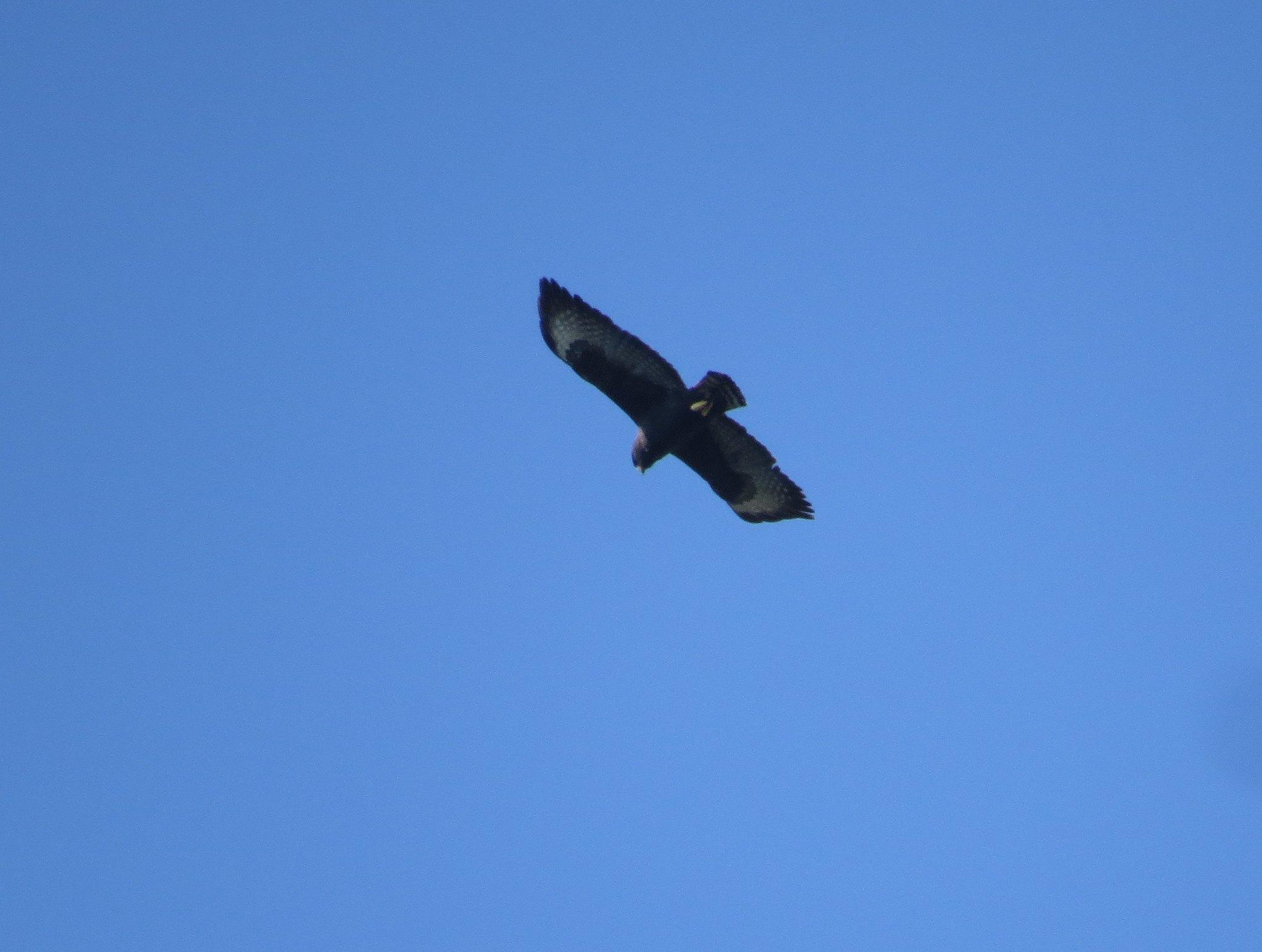 Zone-tailed Hawk by Seth Inman - La Paz Group