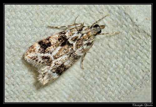 Eudonia delunella