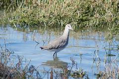 Willet a wading bird, public shoreline, Milbrae DSC_0838