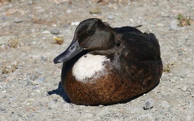 duck-in-tux