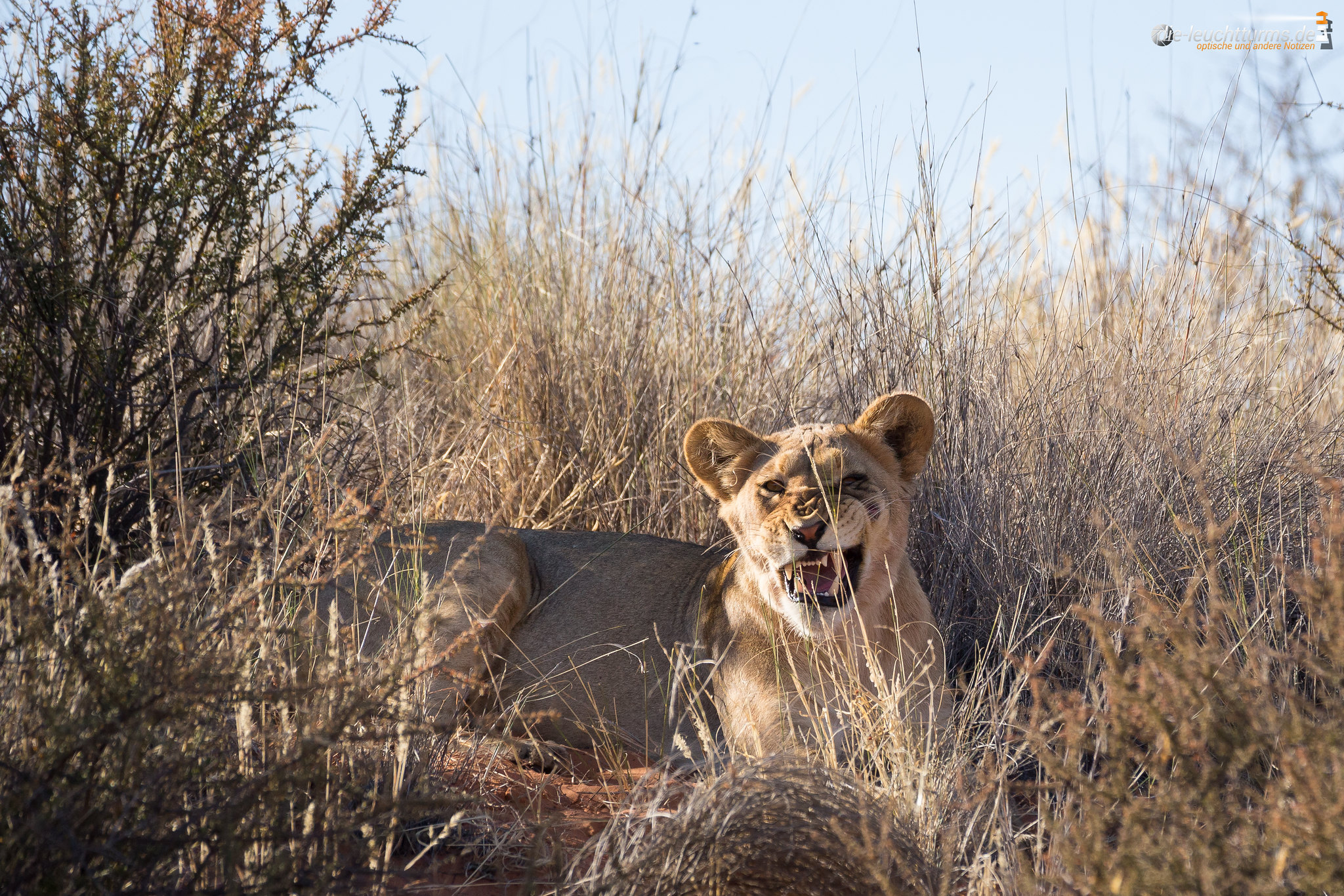 Kalahari Lion (female)