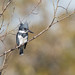 Belted kingfisher (Megaceryle alcyon) by Tony Varela Photography