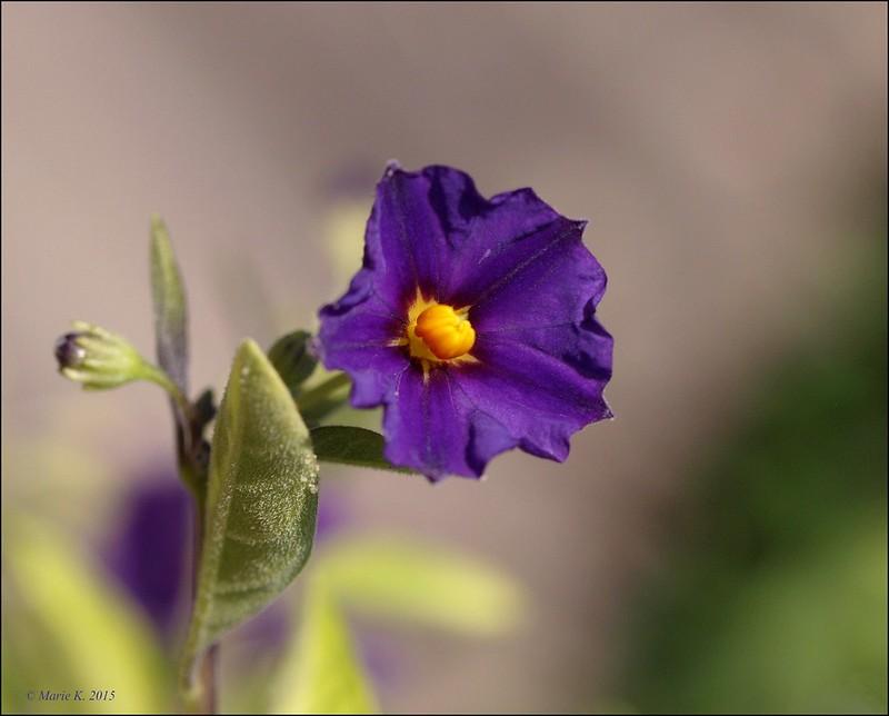 Solanum Rantonitti 20084935163_8c10a1cbab_c