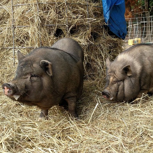 On the left, a solid black pig about two feet high. On the right, a black pig with a white stripe between her eyes, white trotters, and a white stripe on one side of her neck. They are VERY fat, and also frothing at the mouth.